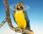 Műtéti gallér madárnak   80mm