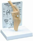 Anatómiai modell, térd REHAB